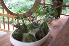 2016-07-bonsai-starters
